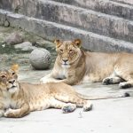 two lioness laying on concrete ground at daytime